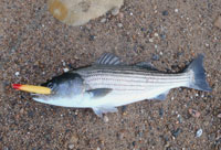 black rock striper
