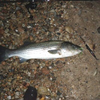 cow cove striper