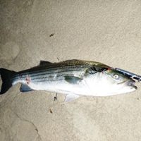 striper at philbin beach