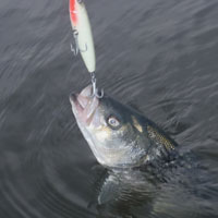 castle neck striper takes yo-zuri hydro pencil